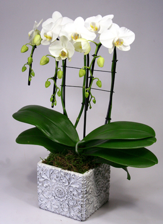 Virágposta - Orchidea vízesés díszes kaspóban