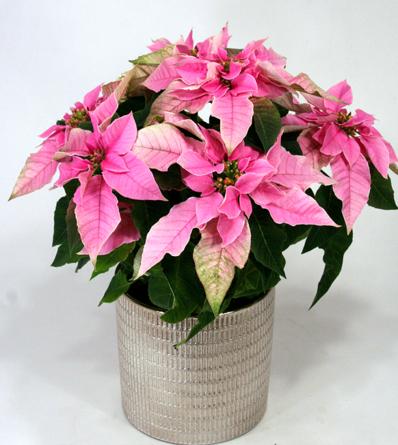Virágposta - Rózsaszín mikulásvirág fényes kaspóban