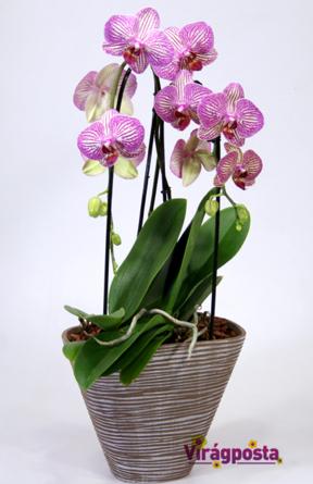 Virágposta - Különleges íves orchidea modern kaspóban