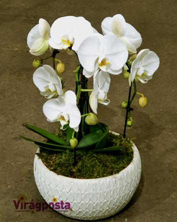 Virágposta - Tripla orchidea kerámia kaspóban