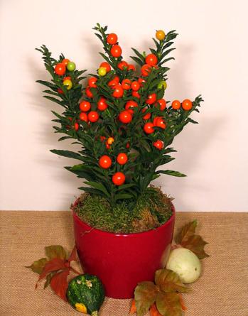 Virágposta - Korallbokor - Legyen vidám az ősz!