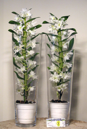 Virágposta - Dendróbium Orchidea