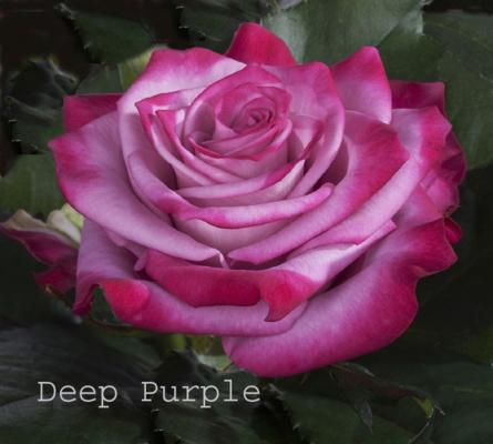Virágposta - Deep Purple rózsa - A világ legszebb rózsái
