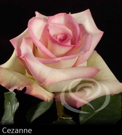 Virágposta - Classic Cezanne - Rózsacsokor virágküldés
