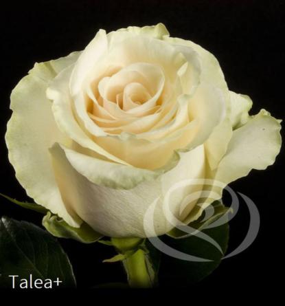 Virágposta - Talea - Rózsacsokor Virágküldés