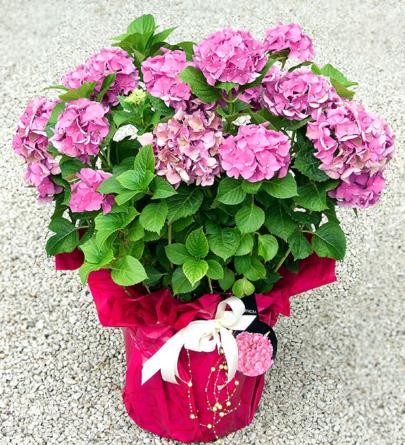Virágposta - Óriás hortenzia